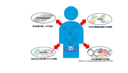 NMN(烟酰胺单核苷酸)是NAD+的前体